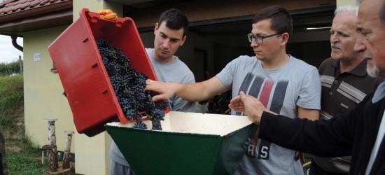 Akademicy rozpoczęli winobranie (ZDJĘCIA)