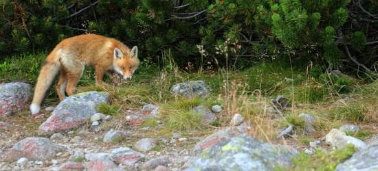 Jesienna akcja szczepienia lisów