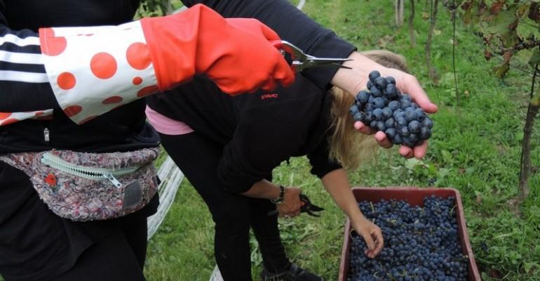 PODKARPACKA AKADEMIA WINA: Słuchacze robią własne wino. Będą się nim opiekować aż do stycznia (ZDJĘCIA)
